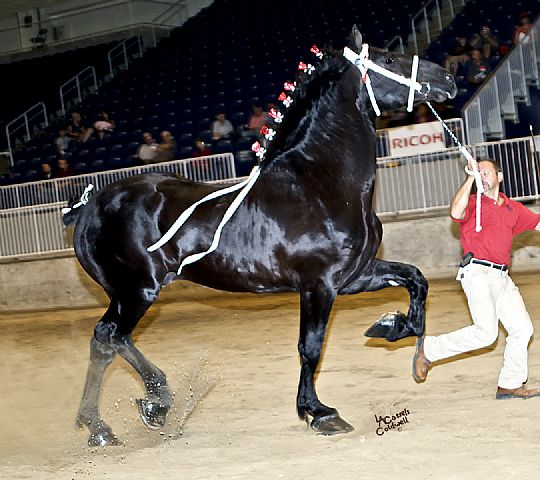 Windermere Inferno, 2008 World Champion Percheron Stallion